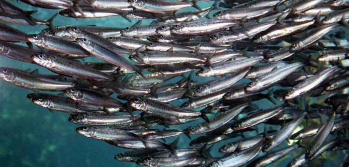 Pesce Azzurro - elenco tipi specie benefici per la salute e proprietà nutrizionali pesce azzurro