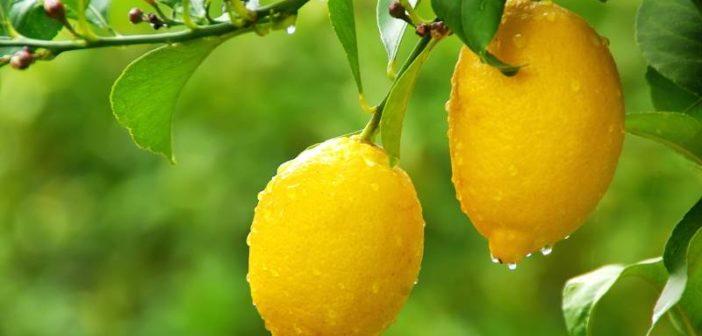 Limone: proprietà, benefici per la salute e controindicazioni. Scopri quali sono le proprietà benefiche e curative dei limoni, i benefici per la salute, a cosa è utile il succo di limone e le controindicazioni.