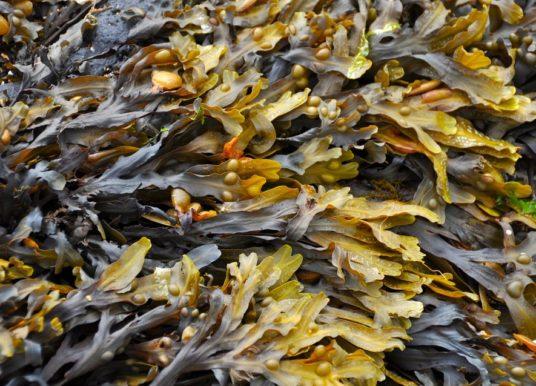 Alghe: tipologie, proprietà, benefici, uso e controindicazioni