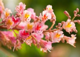Fiore di Bach Red Chestnut: per chi si preoccupa troppo per gli altri
