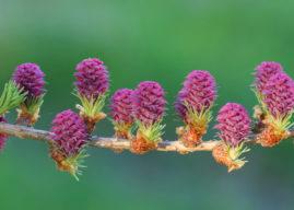 Fiore di Bach Larch, pensato per gli insicuri cronici