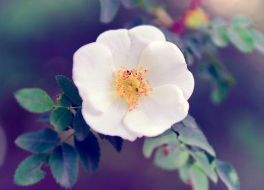 Olio essenziale di rosa mosqueta: proprietà, benefici, usi e controindicazioni