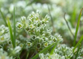 Fiore di Bach Scleranthus: per gli eterni indecisi